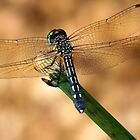 Dragonfly by NaturalPhotos