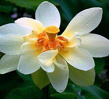 American Lotus Close-Up by NaturalPhotos