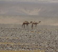 Camels in Jordan 2 by ashbish14