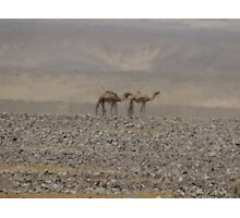 Camels in Jordan 2 Photographic Print