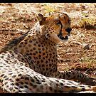 Cheetah in Africa 2014 by Maureen Clark
