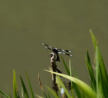 Dragonfly, Seattle Arboretum by jfew