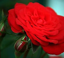 Red Rose Over Buds by Geno Rugh