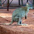 Go the wallabies by yas74