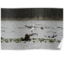 White Crane with water lilies Poster