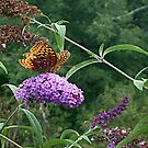Orange Butterfly on the Butterfly Bush - photo 2 by Jane Neill-Hancock