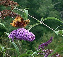 A Great Spangled Fritillary on the Butterfly Bush - photo 2 by Jane Neill-Hancock