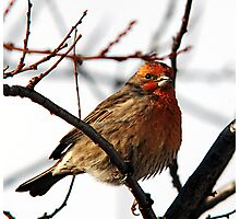 House Finch - Insulated Photographic Print