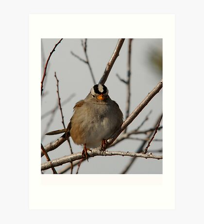 White-Crowned Sparrow - Perched Art Print