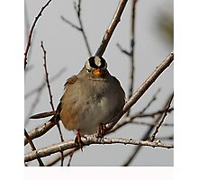 White-Crowned Sparrow - Perched Photographic Print