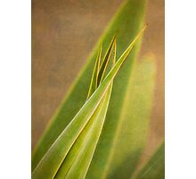 Sharp aloe, soft aloe Photographic Print