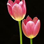 Pink Tulips by Swede