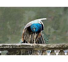 Portmeirion Peacock Photographic Print