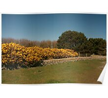 Yellow Gorse at the Beach Balmedie Poster