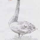 Black Swan Drawing by MikeJory