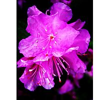 Purple Bright Azalea Photographic Print