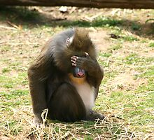 A bad day for this Mandrill by amjaywed