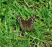 Speckled Wood Butterfly by Sharon Perrett