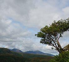 Windswept Rowan Tree by pluspixels