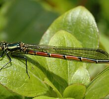 Damselfly 1 by bubblebat