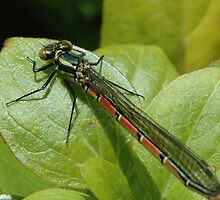Damselfly 2 by bubblebat