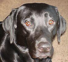Black Lab Facial Shot, Brady by tawaslake
