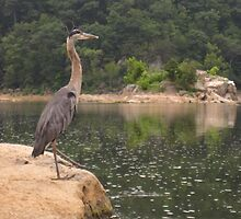 Heron  photographed near Great Falls by cameraperson
