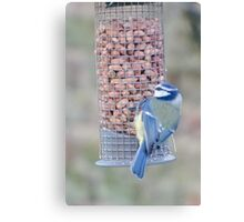 Feeding time for Blue Tit............ Canvas Print
