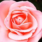 pink rose by marycloch