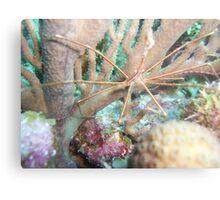 Arrow crab Metal Print