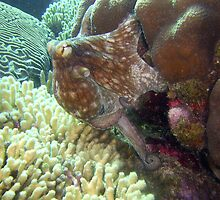 caribbean octopus by javachat