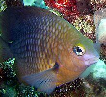Princess damsel fish by javachat