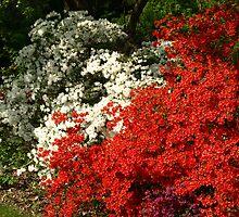 Azalea Garden by kimbarose