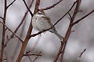 Sparrow in a Spring Snowstorm by Dawne Olson