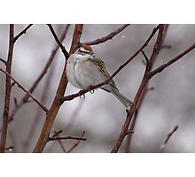Sparrow in a Spring Snowstorm Photographic Print