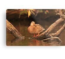 Lake Okauchee Mallard Metal Print