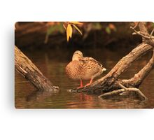 Lake Okauchee Mallard Canvas Print