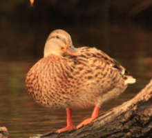 Lake Okauchee Mallard Sticker
