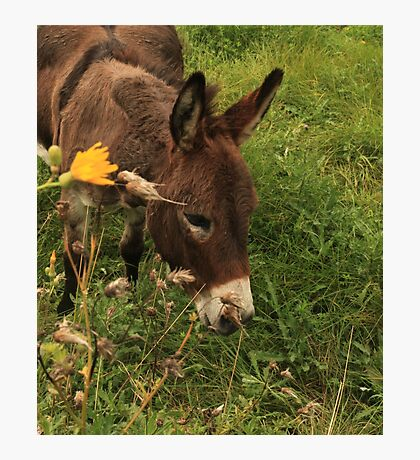 Hot Wheezing Donkey Photographic Print