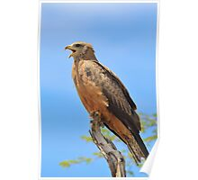 Yellow-billed Kite - African Raptors of Power Poster