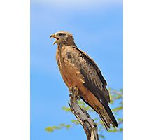 Yellow-billed Kite - African Raptors of Power Photographic Print