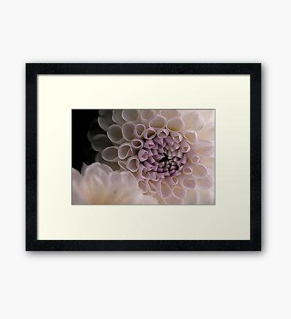 Dahlia in pink Framed Print