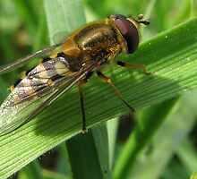 Hoverfly by Bob Sagar