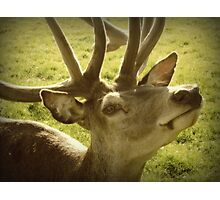 Red Stag Deer Photographic Print