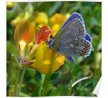 Silver Studded Blue........... Poster