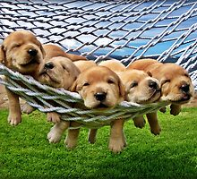 Cute Retriever Labrador Puppies in Hammock by seaglassphoto