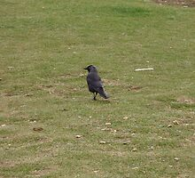 Jackdaw by brucemlong
