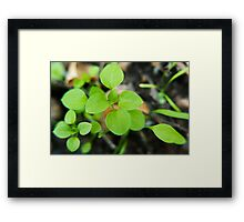 Stellaria media botanical photography Framed Print