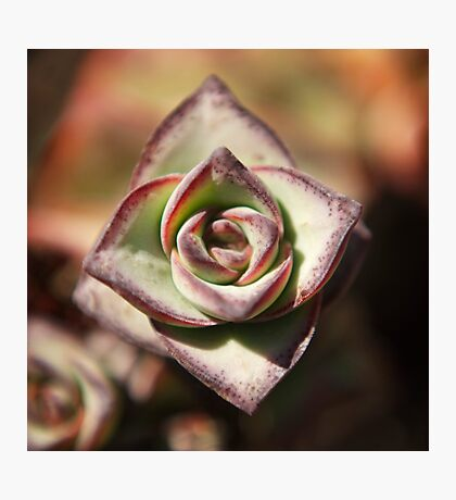 Graptosedum 'Vera Higgins' succulent photo Photographic Print