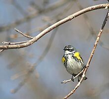 Yellow-rumped Warbler by Stephen Thomas